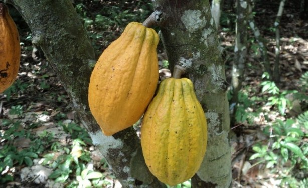 exportation plan cacao Mejor respuesta: un tema son los impuestos a la importación y otro los honorarios que el agente aduanal te va a cobrar por el proceso estoy de acuerdo.